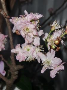 Sákura, flor de cerejeira Foto: Gustavo Salgado