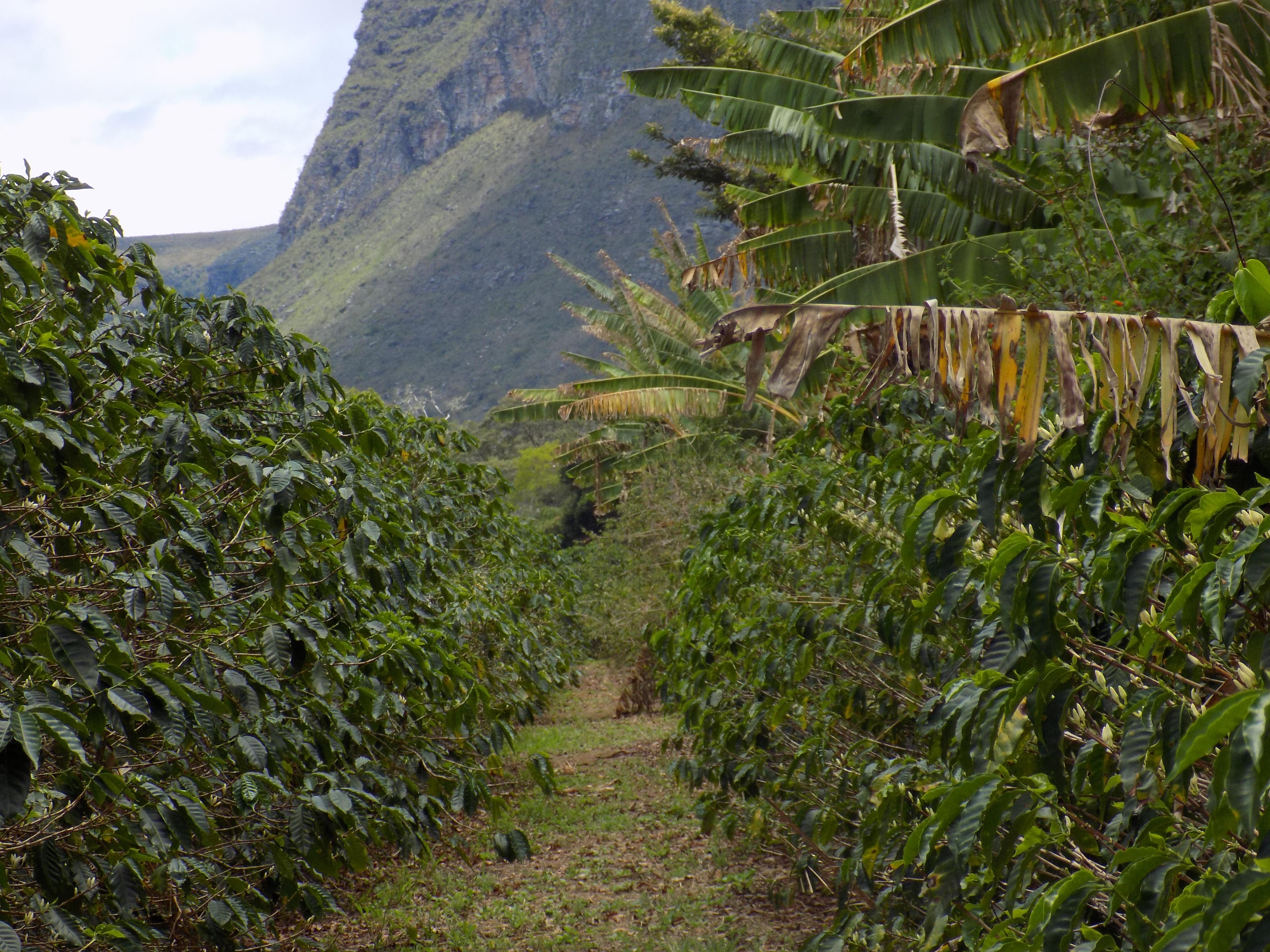 Bananeiras quebra vento (Fazenda Igaraçu/Divulgação)