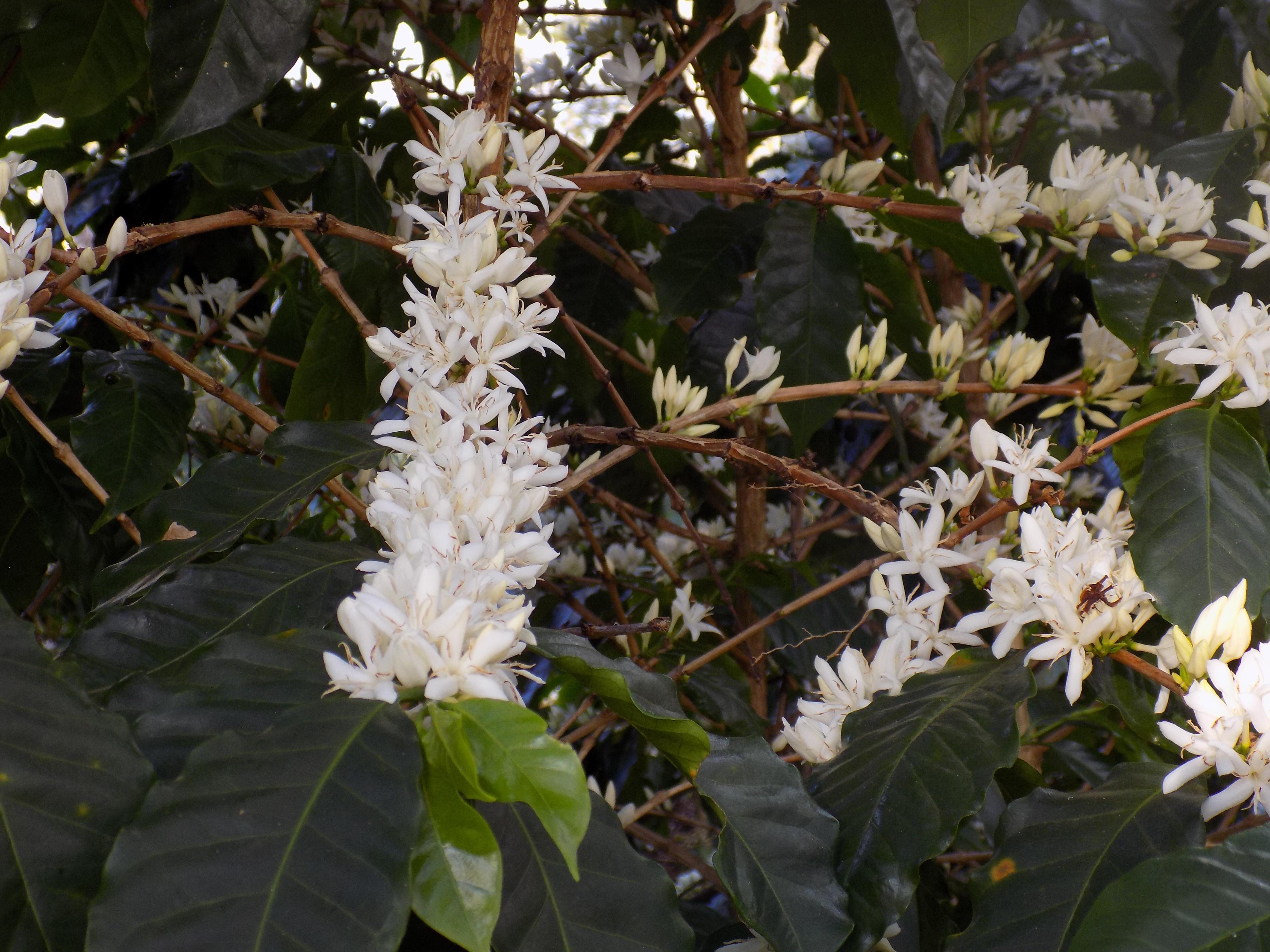 Café florido (Fazenda Floresta/Divulgação)