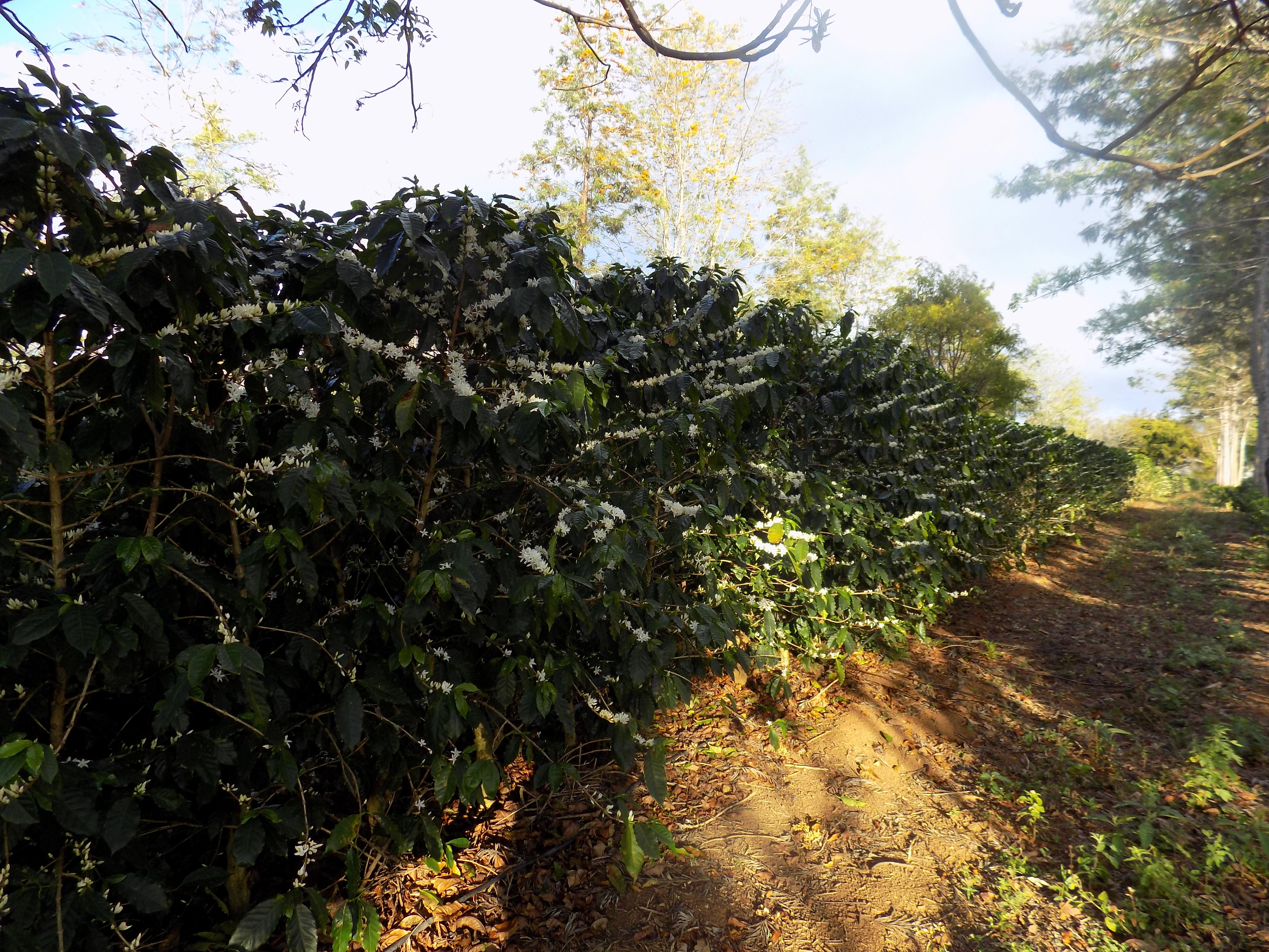 Café orgânico e agroflorestal florido (Fazenda Floresta/Divulgação)