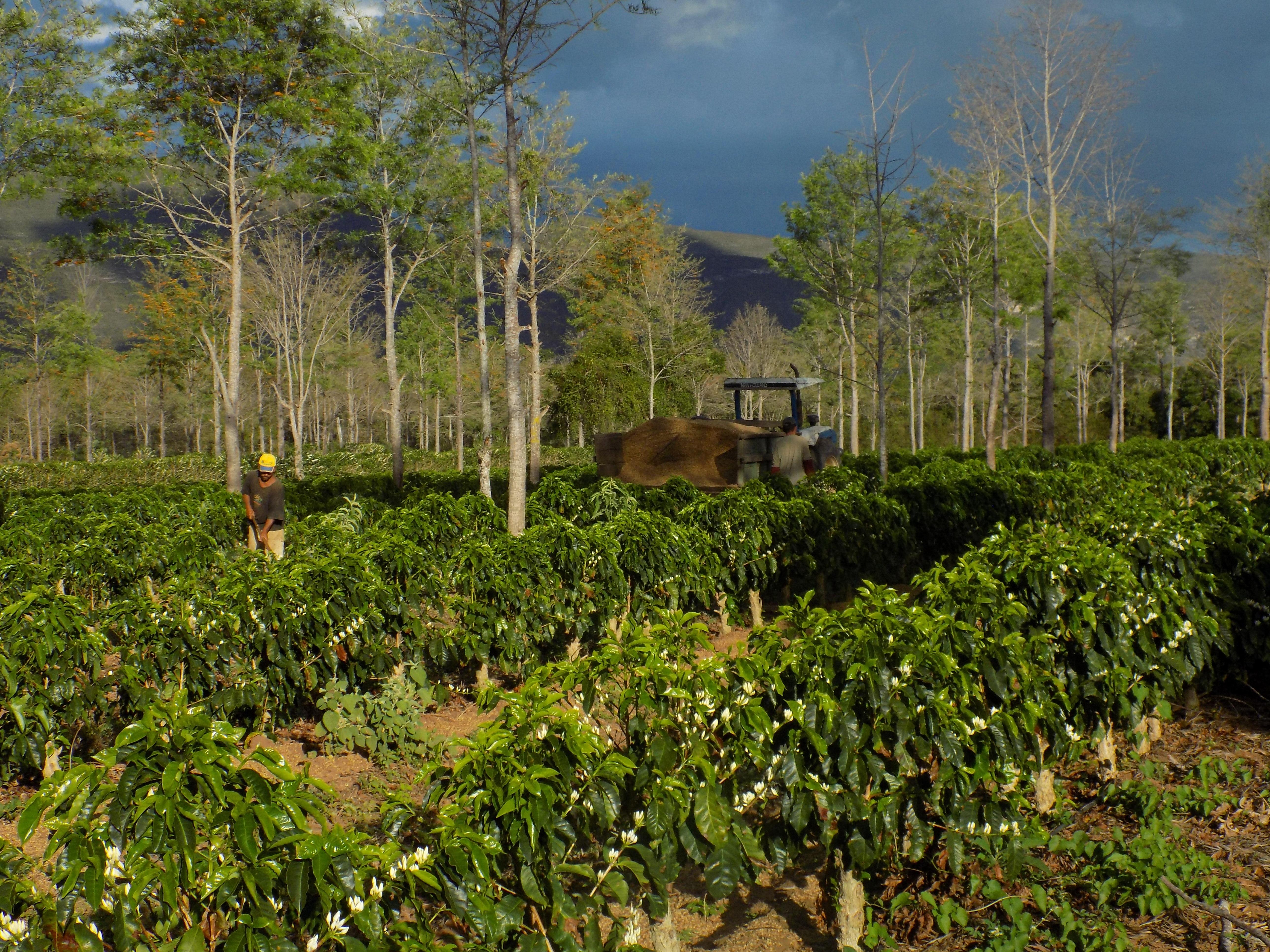 Café orgânico e agroflorestal recebendo adubo orgânico (Fazenda Floresta/Divulgação)