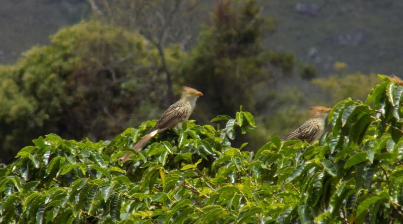 aves no café