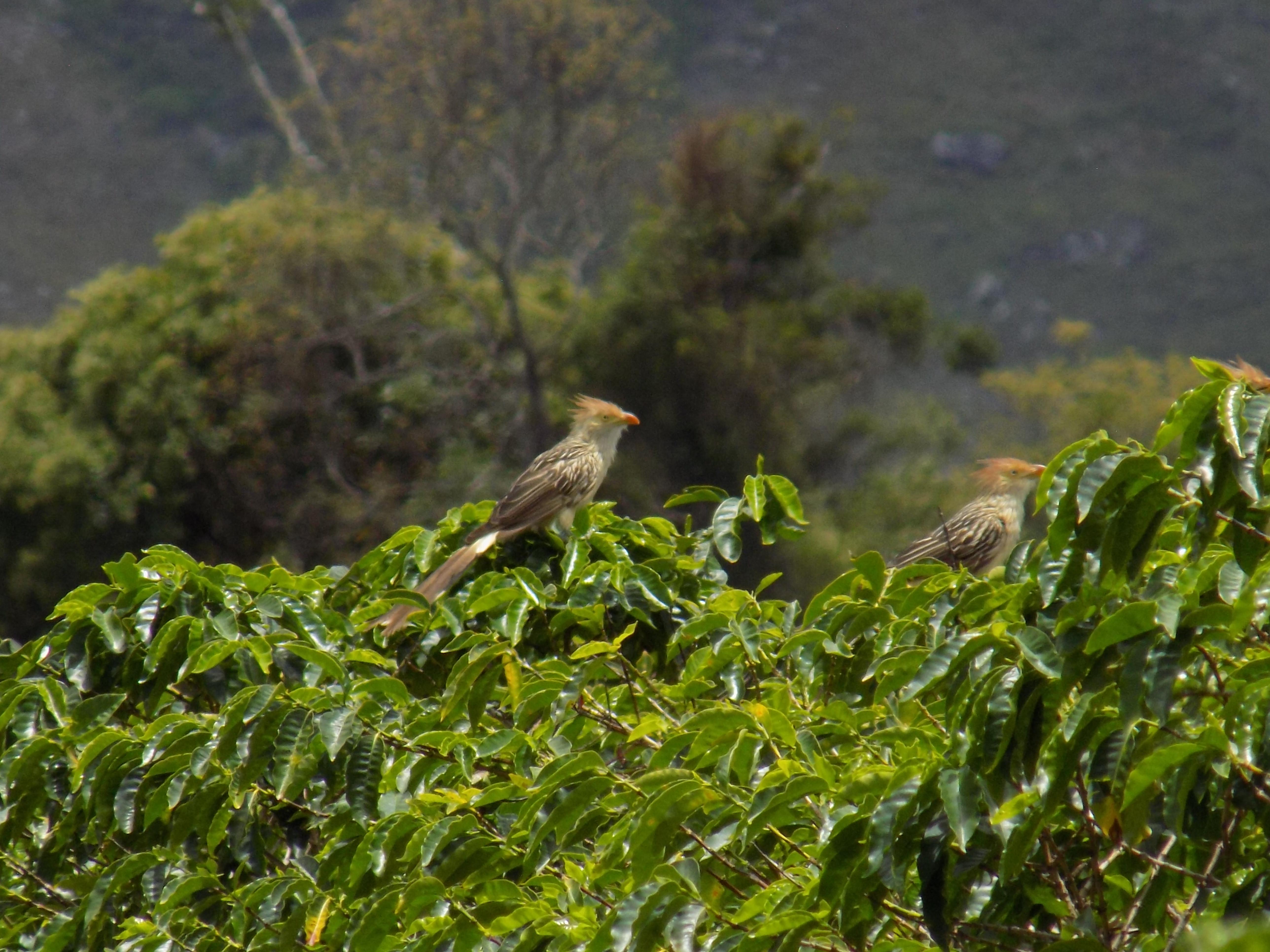 Aves no café (Fazenda Igaraçu/Divulgação)