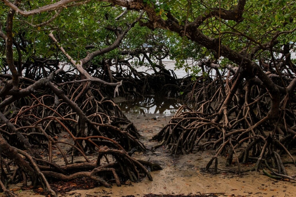 Manguezais são importantes para conter processos erosivos no litoral (Foto: Marcelo Delfino)